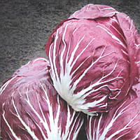 Индиго (Indigo) семена цикория салатного Bejo 250 семян