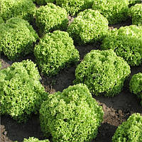 Златава семена салата кучерявого  Semo 5 000 семян