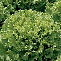 Клаудиус семена салата семян  тип Ромен RZ Rijk Zwaan 5 000 драже