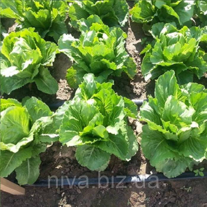 Крунчита (Crunchita) семена салата Ромен Rijk Zwaan 5 000 драже