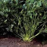 Риалто (Rialto) семена петрушки листовой Bejo 500 г