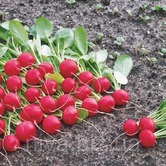 Ролекс F1 (Rolex F1) семена редиса 2,50-2,75 мм Bejo 50 000 семян