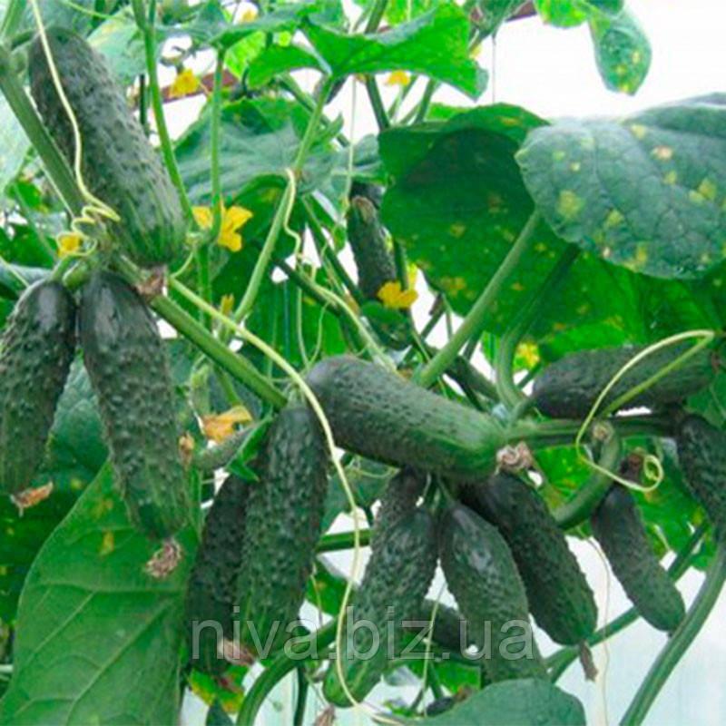 Афина F1 семена огурца партенокарпического Nunhems 100 семян