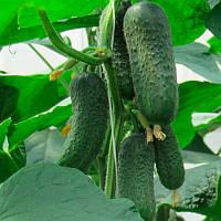 Беттина F1 семена огурца партенокарпического Nunhems 500 семян