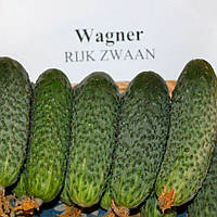 Вагнер F1 семена огурца корнишонов селекция Rijk Zwaan 250 семян