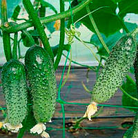Зузана F1 семена огурца партенокарпического Mоravoseed 1 000 семян