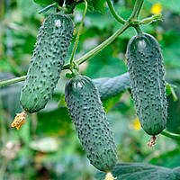 Мадита F1 (Madita F1) семена огурца Seminis 250 семян