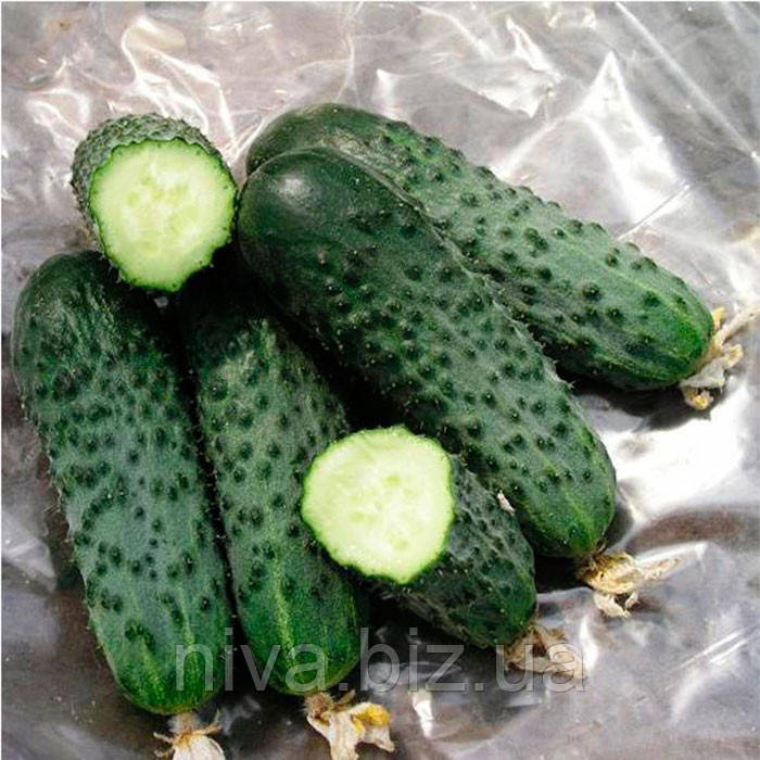 Сатина F1 семена огурца партенокарпического Nunhems 100 семян