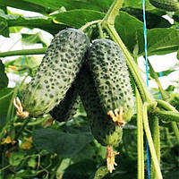 Туми F1 семена огурца партенокарпического Enza Zaden 500 семян