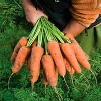Кардиф F1 (Cardiff F1) 2,2-2,4 мм семена моркови Шантане Bejo 1 000 000 семян