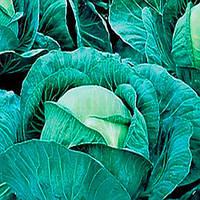 Атрия F1 Atria F1 семена средней капусты Seminis 500 сем