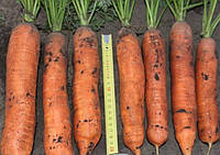 Балтимор F1 семена моркови типа Берликум 1.6 - 1.8 мм Bejo 1 000 000 семян