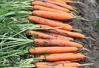 Ньюкасл F1 (Newcastle F1) семена моркови Нантского типа Bejo 2.0 - 2.2 мм 1 000 000 семян