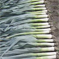 Тітус насіння цибулі порей пізньої 155-165 днів Moravoseed 25 000 насінин