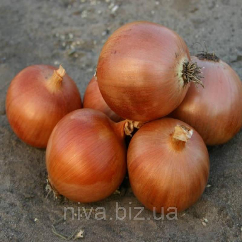 Пандеро F1 насіння цибулі ріпчастої Nunhems 10 000 насінин
