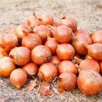 Роксен F1 насіння цибулі озимої Agri Saaten 50 000 насінин