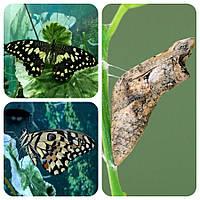Куколка бабочки Papilio demoleus