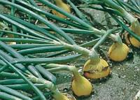 Сибір (Sibir) насіння цибулі ріпчастої озимої ранньої 250-260 днів Bejo 250 000 насінин