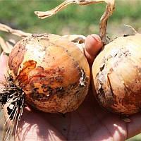 Спай F1 семена озимого лука Agri Saaten 250 000 сем