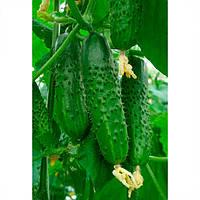 Амур F1 (Amour F1) семена огурца партенокарп. Bejo 25 семян