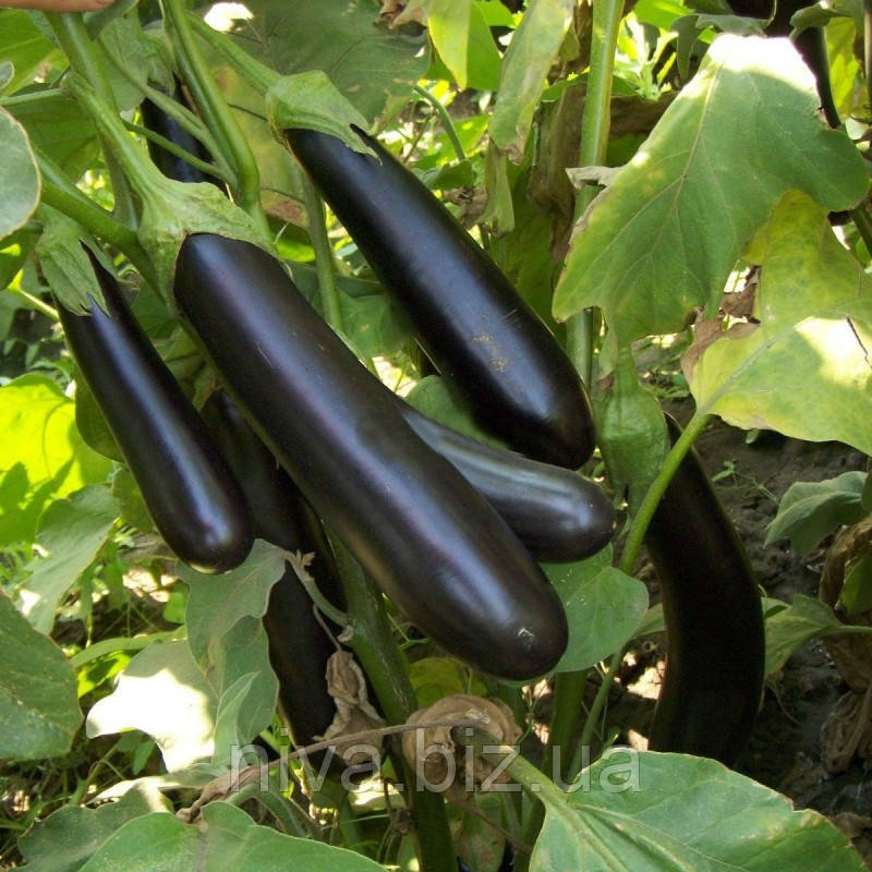 Міледа F1 насіння баклажану Syngenta 1 000 насінин