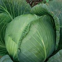 Леопольд F1 семена капусты белокачанной средней Bejo 500 семян