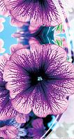 Дэдди фиолетовая F1 семена петунии махровой Семена Украины 10 семян
