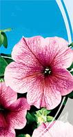 Дэдди красная F1 семена петунии низкорослой Семена Украины 10 семян