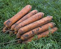 Номинатор F1 (Nominator F1) семена моркови Нантес 2,2-2,4 мм Bejo 1 000 000 семян