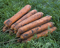Номинатор F1 (Nominator F1) семена моркови Нантес 2,0-2,2 мм  Bejo 1 000 000 семян
