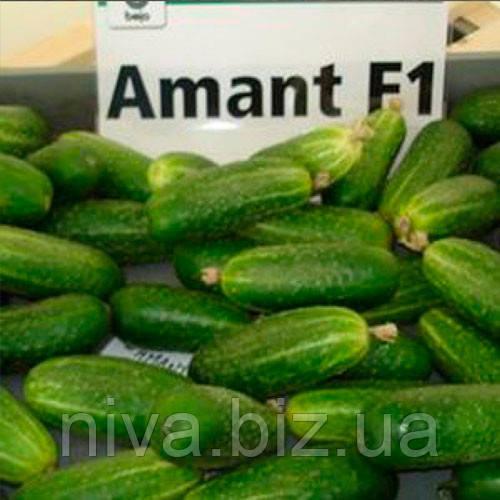 Амант F1 (Amant F1) семена огурца партенокарпического Bejo 100 семян