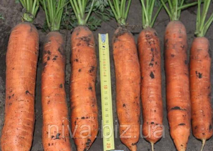 Балтимор F1 семена моркови типа Берликум 1.6 - 1.8 мм Bejo 25 000 семян