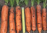 Балтимор F1 семена моркови типа Берликум 1.8 - 2.0  мм Bejo 25 000 семян