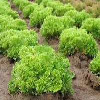 Рекорд семена салата тип Лолло Бионда Moravoseed 1 000 г