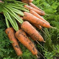 Кордоба F1 (Сordoba F1) 1,8-2,0 мм семена моркови Шантане Bejo 100 000 семян