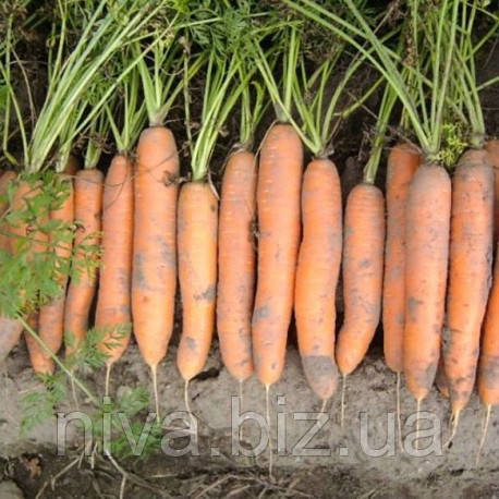Нерак F1 (Nerac F1) семена моркови Нантес 2,0-2,2 мм Bejo 1 000 000 семян