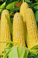 Деликатесная семена кукурузы сладкой Семена Украины 0,5 кг