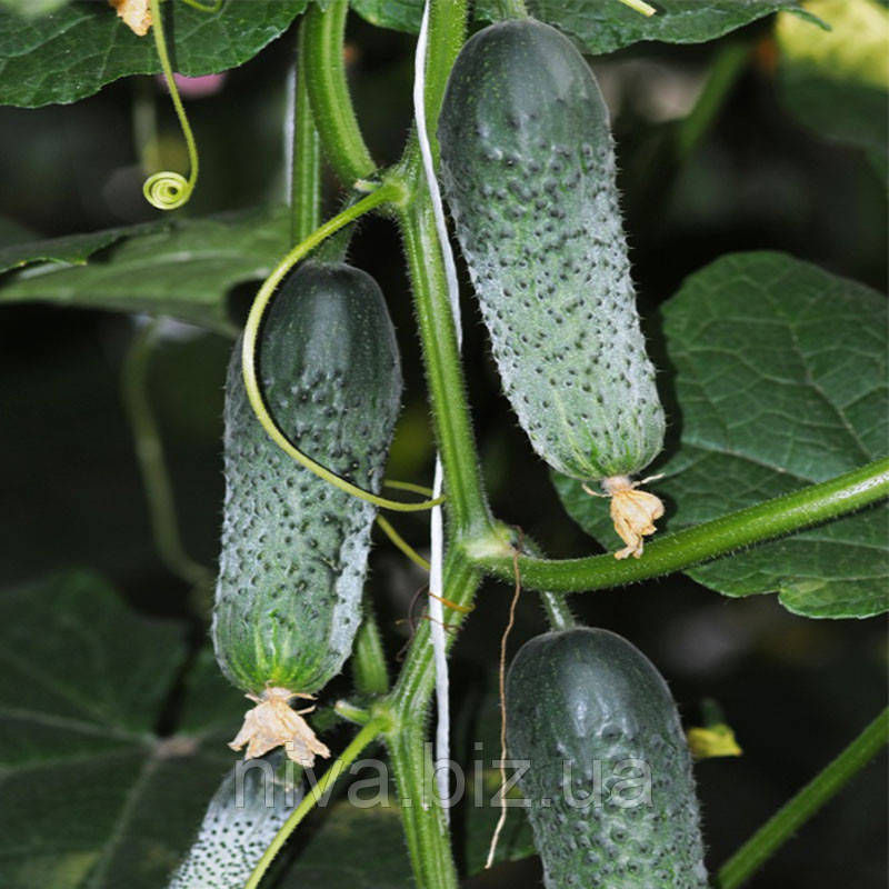 Везунчик F1 семена огурца партенокарпического Lucky Seed 10 000 семян