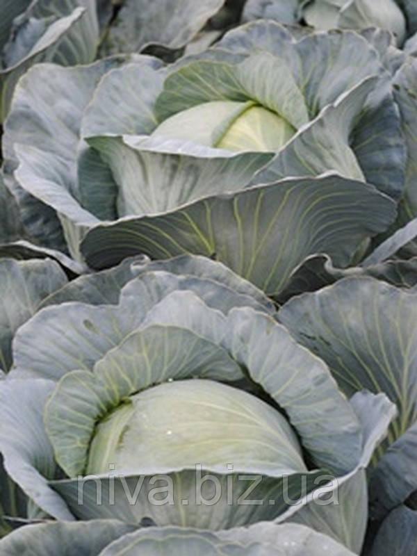 Супермаркет F1 семена капусты белокачанной поздней Lucky Seed 25 семян