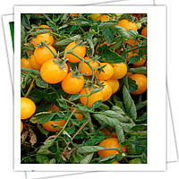 Миниголд семена томата Черри Semo 100 г
