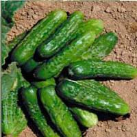 Регина семена огурца корнишона Semo 1 000 семян