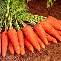 Купар F1 (Cupar F1) семена моркови 1,8-2,0 мм Bejo 1 000 000 семян