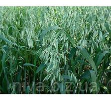 Овес посевной Семена Украины 1 кг