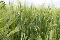 Рожь озимая Семена Украины 1 кг