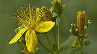 Зверобой семена зверобоя Satimex 0,05 г
