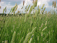 Тимофеевка луговая Семена Украины 0,5 кг