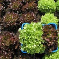Дубаред семена салата Semo 5 г