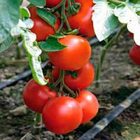 Бодерин F1 семена томата селекции Syngenta 25 семян