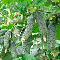 ЗКИ-104 (ZKI-104) F1 семена огурца партенокарпического Lark Seeds 25 семян