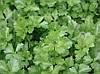 Итальянский Гигант семена петрушки листовой Griffaton 500 г